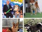 带出生纸和芯片的柯基柴犬,纯家庭式cku犬舍繁殖