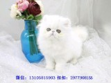 桂林哪里有波斯猫卖 纯种 无病无廯 协议质保