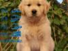 本地较大的金毛巡回犬