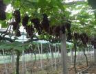 江苏农博园大学生创业种植葡萄