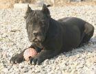 本地出售纯种卡斯罗犬 双血统卡斯罗护卫犬 大量幼犬出售