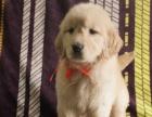 假一赔十-巡回犬大型金毛大头宠物狗-包纯种健康养活