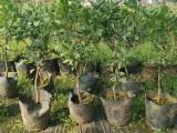 金華蘭溪市柑橘苗供應服務