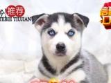 本地正规犬场出售三火蓝眼哈士奇犬纯种健康有协议