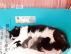 出售家养小加菲猫(颜色有红虎斑,纯蓝,蓝白,乳色四种)