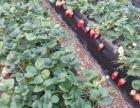 福山烟台汽车工程职业学院附近草莓采摘
