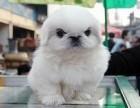 海口哪有京巴犬卖 海口京巴犬价格 海口京巴犬多少钱