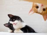 池州高端猫舍繁育帅气缅因猫 霸气侧漏 性格温顺不抓人