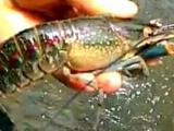 专业繁殖 澳洲淡水龙虾 工场化精确育良种 产优质虾苗3-4cm
