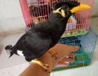 出售正宗越南鷯哥 和尚鸚鵡 金太陽鸚鵡 小太陽鸚鵡 吸蜜鸚鵡