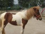 廉江市宠物小矮马价格