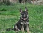 精品宠物繁殖基地长期出售德国牧羊犬幼犬 保证品质健康
