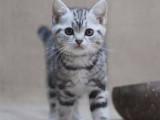 浙江杭州纯种美国短毛猫幼猫低价出售