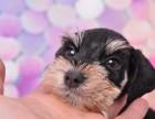 福州纯种雪纳瑞价格 福州哪里能买到纯种雪纳瑞犬