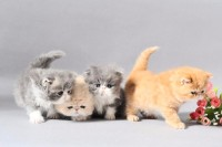 各品种宠物猫,当天发货
