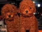 实体店出售精品泰迪犬 包犬瘟细小冠状 包建康签协议