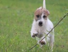 高品质双血系杰克罗素梗幼犬