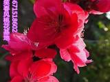 观赏桃花树苗3公分红叶碧桃苗子