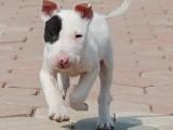 南京哪有牛头梗犬卖 南京牛头梗犬价格 南京牛头梗犬多少钱