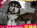纯种阿拉斯加 幼犬三个月 包纯种 品相论价