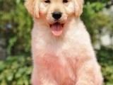 出售金毛尋回犬 金毛尋回犬幼犬純種狗狗保證健康