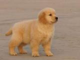 海口纯种金毛犬 欢迎上门 送全狗用品 健康签协议