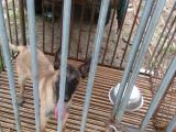 精品马犬幼犬出售