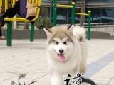 佛山什么地方有出售纯种健康阿拉斯加幼犬 正规信誉狗场