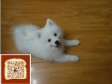 镇江哪里有银狐犬出售镇江哪里有宠物店镇江银狐犬多少钱