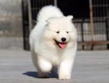 北京本犬舍常年出售高品宠物犬幼犬