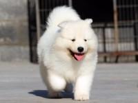 繁殖基地出售大中小型寵物犬,正規專業,品種齊全