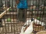 精品熊猫金鸽子出售白金鱼黄金鱼
