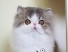 出售大眼可爱小波斯猫 健康活泼波斯猫 高贵优