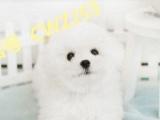 纯种比熊犬 纯白无泪痕 比熊幼犬价格 赛级比熊犬