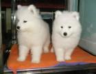上海出售3个月的萨摩耶犬(公母均有)包犬瘟细小-签协议