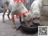 一对斯塔福犬幼犬多少钱小斯塔福犬的价格图片