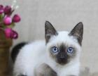 家养暹罗猫高品质重点色 泰国暹罗猫 漂亮蓝眼睛