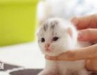 优质折耳猫 可爱到爆 猫场直销 价格优惠 速来选购