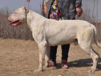 昆明杜高犬舍,杜高犬价格,二三个月的杜高多少钱一只
