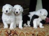 青岛哪有古代牧羊犬卖 青岛古代牧羊犬价格 古代牧羊犬多少钱