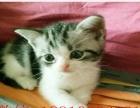 美短虎斑 加白 折耳 立耳 公母都有 买猫送用品