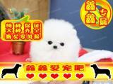 北京买博美幼犬 最好品质 签订协议 来场可看狗父母