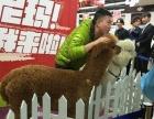 九江展示羊驼,九江租借羊驼,羊驼展览展示