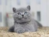 傲娇萌猫纯种蓝猫 美短渐层蓝白折耳宠物猫活体幼体