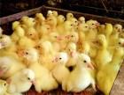 重庆养殖大种鹅苗公司优质鹅苗批发包销路
