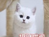 出售可爱呆萌英短银渐萌娃 纯种健康 欢迎上门看猫