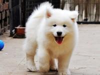 潮州狗场解散 萨摩耶犬等二十多种宠物狗 500元 起售