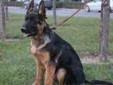 佛山德国牧羊犬多少钱一只 佛山哪里买狗比较有保障 铃铛犬舍