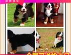 专卖富贵伯恩山幼犬 训练过:坐 立 卧 上厕所都会