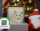 新乡哪里有布偶猫出售 新乡布偶猫价格 新乡宠物猫转让出售